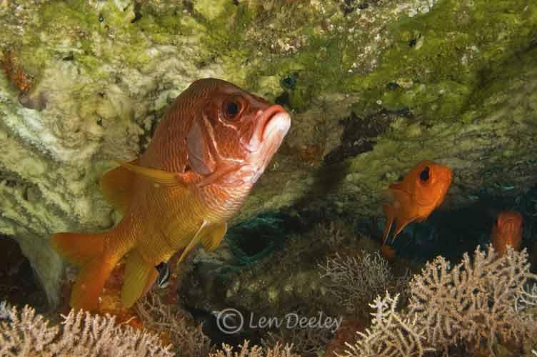 Maldives18 for Big eye squirrel fish